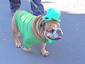 bulldogs in st pats for all parade sunnyside